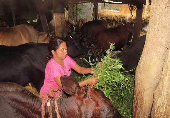 गाई पालेरै बार्षिक रु ५–६ लाखसम्म बचत