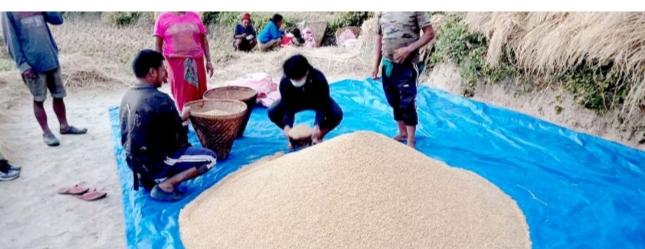 गाउँपालिकाले पुरस्कार दिने भएपछि मिक्लाजुङका कृषकहरु खेतीमा आकर्षित