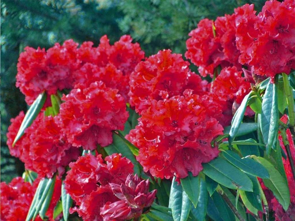 राष्ट्रिय फूल लालिगुराँशको औषधीय महत्व