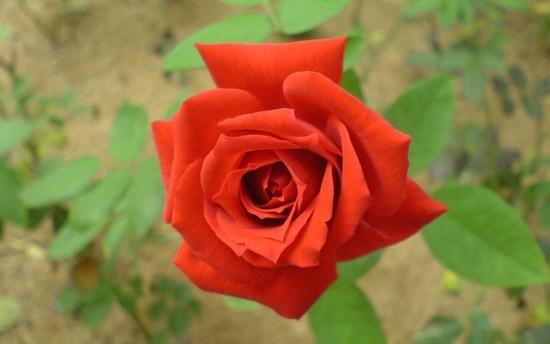 प्रेम दिवश नजिकिँदै १ करोडको गुलाव माग