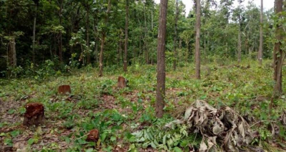 झापामा सिसौका रुख ठाडै सुके, वन नै उजाडियो, जङ्गल मासिएर मरुभूमीकरण हुने सम्भावना