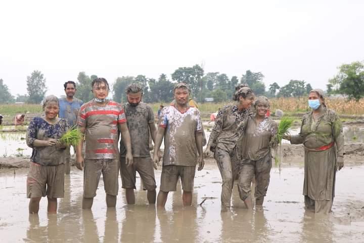 लेटाङमा जनप्रतिनिधि र कर्मचारीले किसानको खेतमा धान रोपेर मनाए धान दिवस
